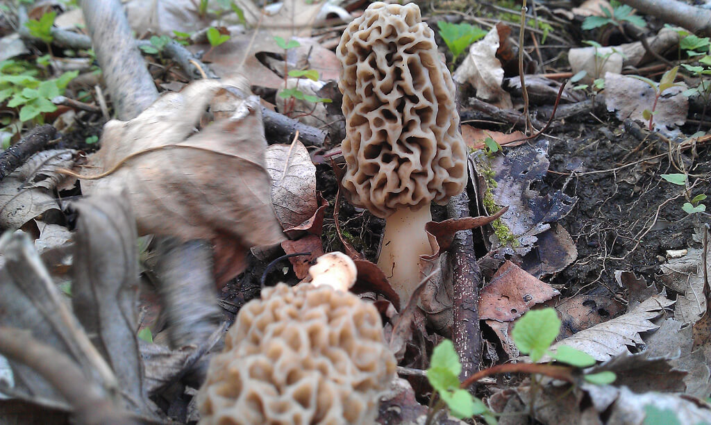 Hunting morel mushrooms on land in Indiana